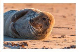 les phoques en baie d'authie ou de Somme